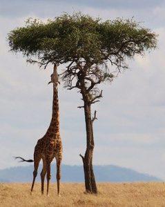 jirafa sabana relajación muscular progresiva